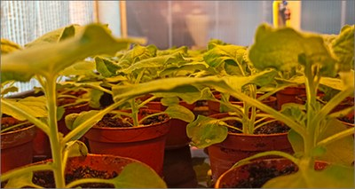 Covid: team di ricercatori propone piante biofabbrica per produrre vaccini e anticorpi