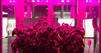 """ENEA e FOS Spa hanno firmato il contratto di licenza per commercializzare in Italia e all'estero """"Microcosmo"""", il primo simulatore di campo hi-tech mai realizzato in Italia per la coltivazione al chiuso e in ambienti estremi di piante come olivo, patata, pomodoro, lattuga e basilico, utilizzando la terra come substrato. Microcosmo è nato da un brevetto ENEA con FOS (al 30%) e sarà commercializzato dalla start up Piano Green srl, costituita dalla controllata del gruppo FOS Greentech srl insieme all'azienda ligure Santagata 1907 Spa, attiva nel settore dell'olio di oliva di alta qualità. Il simulatore utilizza un apparato hi-tech che gestisce la crescita delle piante con sensori per il controllo dei parametri come umidità e temperatura, che influenzano crescita, sviluppo e riproduzione, e luci a LED che controllano l'illuminazione, selezionando le lunghezze d'onda più adatte alla crescita. """"L'intelligenza artificiale connessa all'Internet delle cose permetterà al sistema di essere gestito da remoto rendendo il Microcosmo uno strumento molto prezioso per il settore agricolo soprattutto in questa fase, durante la quale si dovranno affrontare criticità legate ai cambiamenti climatici e al consumo di suolo"""", spiega Luigi d'Aquino ricercatore del Centro ENEA di Portici e inventore del Microcosmo. """"La nascita di una start up come Piano Green ci dimostra la validità della nuova strategia che ENEA sta attuando in merito al trasferimento tecnologico"""", aggiunge Marco Casagni responsabile della Divisione Sviluppo Tecnologico dell'ENEA. """"Questa strategia si basa sulla volontà di rafforzare la collaborazione con le imprese attraverso il Knowledge Exchange Program: in un'ottica appunto di scambio di conoscenze e competenze, questo programma permette lo sviluppo di attività di ricerca comuni anche al fine di valutare ulteriori investimenti per la proof of concept[1], indispensabili a portare sul mercato un nuovo prodotto o processo. È esattamente quanto è avvenuto con FOS, dalla col"""